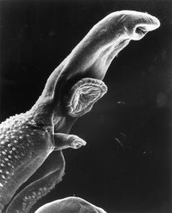 Parasite_Schistosome_SEM