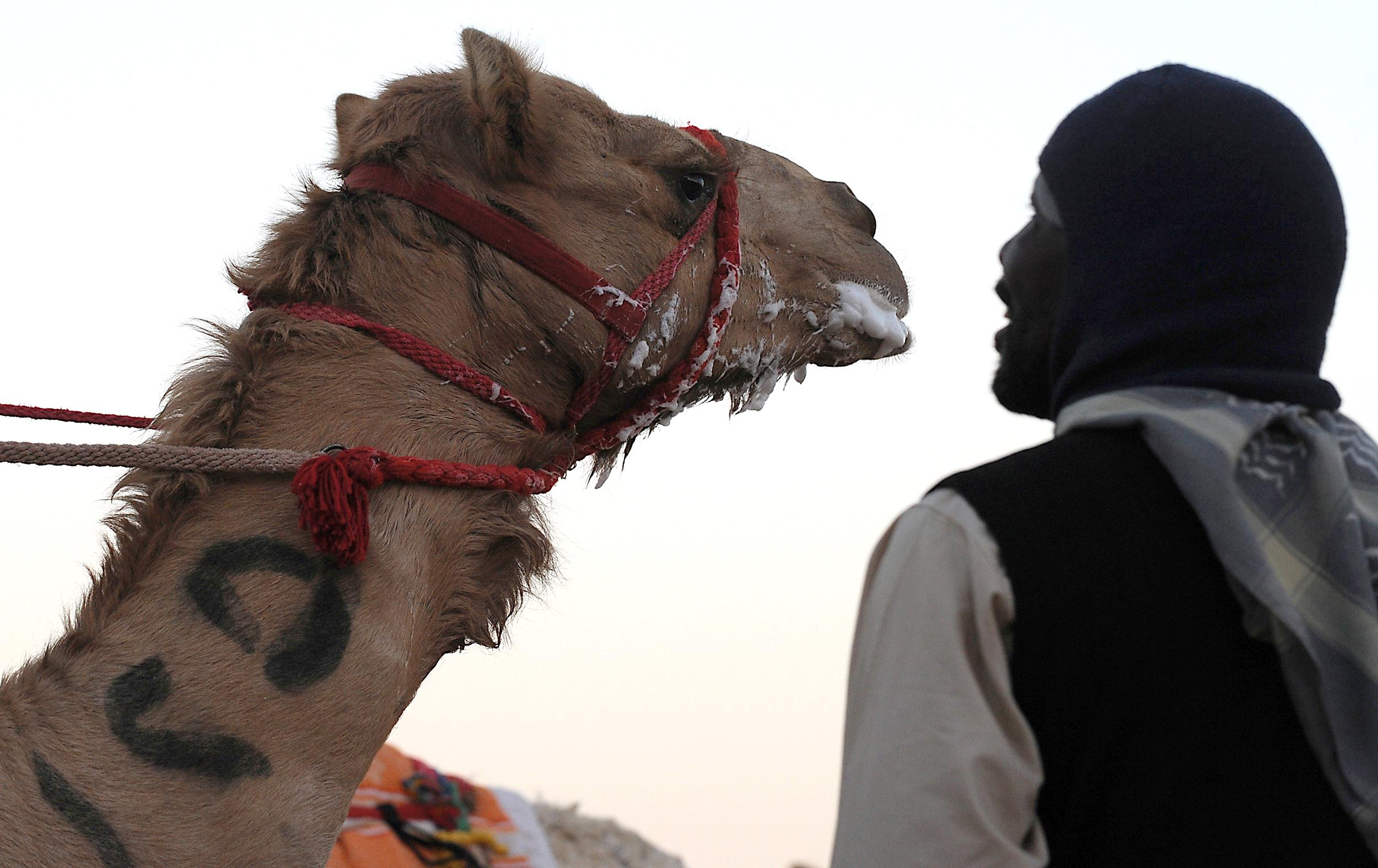 picture MERS Virus Found in Air in Camel Barn