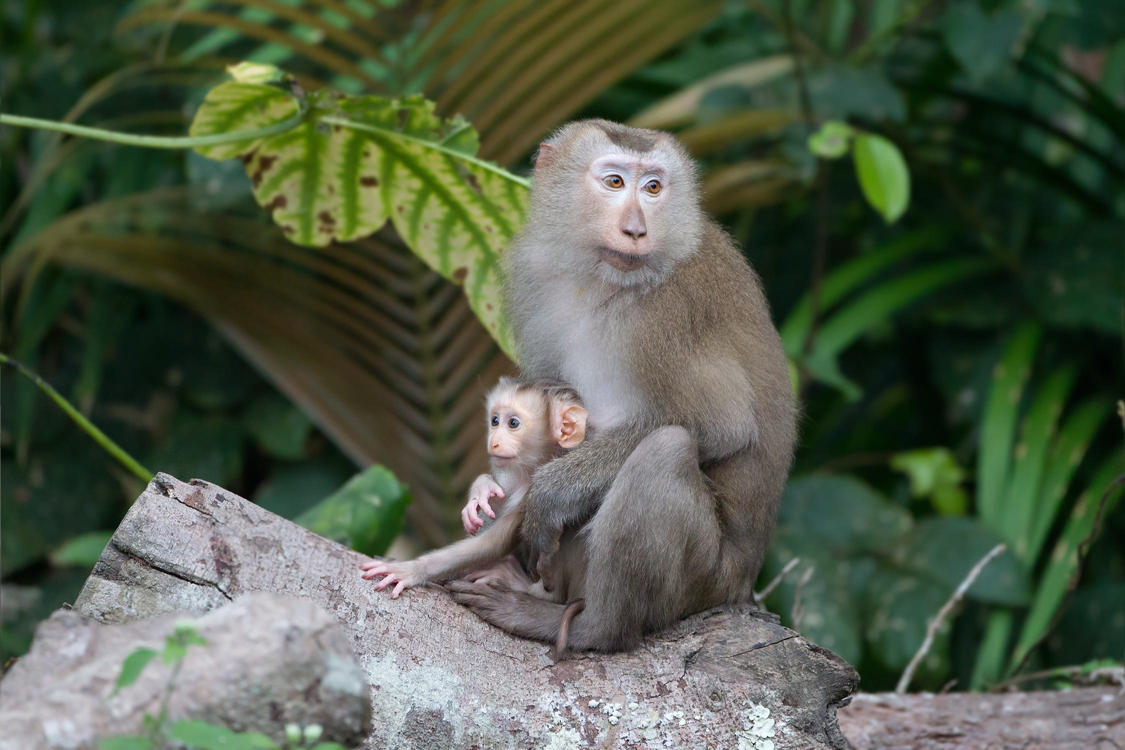 Macaca_leonina_mother_with_baby_-_Khao_Yai