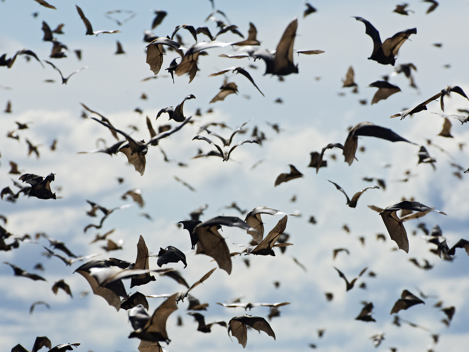 http://www.awf.org/sites/default/files/media/gallery/wildlife/Bat/straw-colored_fruit_bats__kasanka_national_park__zambia.jpg?itok=M70EX1xw